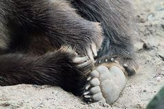 Bare, Bear feet at the Minnesota Zoo royalty free stock photos