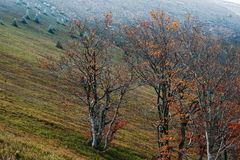 Bare beech tree with some golden red leaves on Carpathian mountain. S Royalty Free Stock Photo