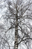 Bare birch branches covered with hoarfrost Royalty Free Stock Image