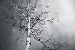Bare Birch Tree in Black and White royalty free stock photography