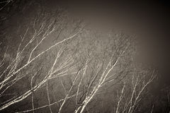 Bare birch tree branches Stock Images