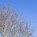 Bare birch tree branches in the winter Royalty Free Stock Image