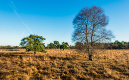 Bare birch tree in the foreground of a nature reserve. With yellowed grasses in the fall season. In the background are some evergreen scots pine trees Royalty Free Stock Image