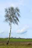 Bare birch tree  in front of wide fields against a blue sky Royalty Free Stock Photos