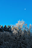 Bare birch tree with rime frost Royalty Free Stock Images