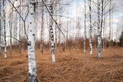 Bare birch trees Royalty Free Stock Images