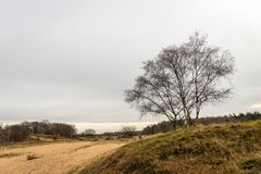Bare birch trees in a nature reserve with sand dunes. Bare birch trees in a Dutch nature reserve with sand dunes. The photo is taken on a cloudy day in the Royalty Free Stock Photo