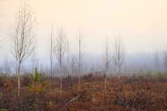 Bare birch trees in mist Royalty Free Stock Photography