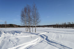 Bare birch trees in snow field on the forest edge. Some bare birch trees in snow field on the forest edge, sunny winter day Royalty Free Stock Photos