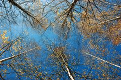 Bare birches. Tops of bare autumn birches on blue sky background Royalty Free Stock Photography