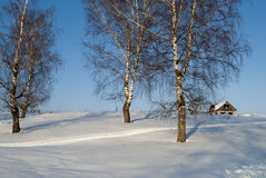 Bare birches on a hill Stock Image