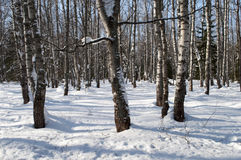 Bare birches in winter forest Royalty Free Stock Images