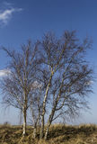 Bare birchtrees on a sunny day Stock Photography