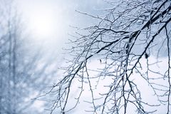 Bare branch with hoarfrost and snow fall Stock Image