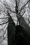 Bare branched beech tree. Low angle view looking to bare branches of beech tree in Autumn Stock Photo