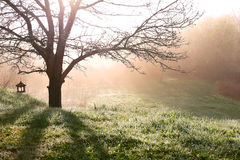 Bare Branched Spring Oak Tree Glowing in Morning Fog Stock Photo