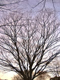 Bare branched tree. Scenic view of bare branched tree in countryside silhouetted at sunset Stock Photography