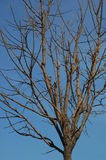 Bare branched tree. Closeup of bare branched tree with blue sky background Stock Images