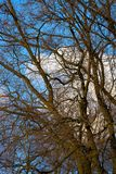 Bare-branched tree with blue sky background. And fair-weather clouds Stock Photos