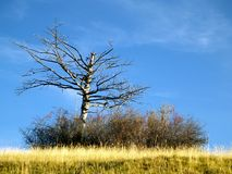Bare branched tree in meadow. Scenic view of bare branched tree in meadow with blue sky background stock photography