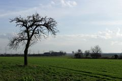 Bare Branched Tree. Bare-branched tree on a sunny Field.The Sky is blue and the grass is green Stock Images