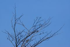 Bare-branched tree top and blue sky background. Bare-branched tree top with clear blue sky background Stock Image