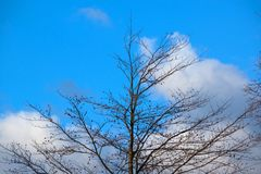 Bare-branched tree top with blue sky background. And fair-weather clouds Royalty Free Stock Photo