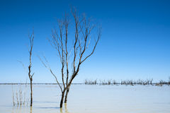 Bare branched trees against a blue sky in Lake Menindee in remote outback Australia Royalty Free Stock Photo