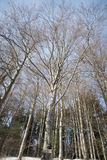 Bare-branched trees stand tall in the middle of winter in the mountains of Romania Royalty Free Stock Image