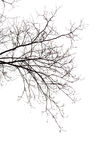 Bare Branches. Of a tree on a white background in  the beginning of the spring Stock Photography