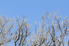 Bare branches against the blue sky Royalty Free Stock Photography