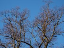 Bare branches against a blue sky in winter. Bare tree branches with a pigeon against a blue sky on a clear winter day stock photos