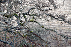 Bare branches of ancient tree Royalty Free Stock Photo