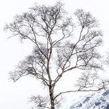 Bare branches of birch tree in cold winter royalty free stock photo