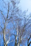 Bare birch tree in winter, blue sky, no leaves  Stock Photography