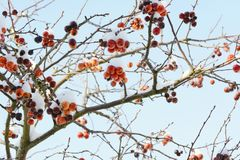 Crab apple tree with red fruit covered in snow. Bare branches of crab apple tree with clusters of red fruit covered in snow royalty free stock image