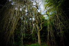 Droopy tree. Bare branches drooping from the tree creating a canopy royalty free stock photo