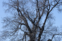 Bare Branches of an old Magnolia Tree silhouetted against a blue cloudless sky Royalty Free Stock Photography