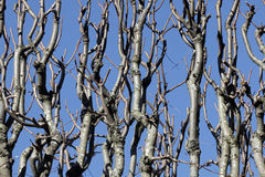 Bare Branches over Blue Sky Royalty Free Stock Photo