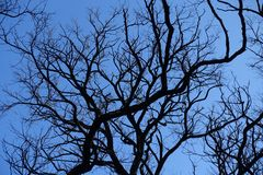 Bare branches of Robinia pseudoacacia against blue sky. Bare branches of Robinia pseudoacacia against the sky Royalty Free Stock Photos