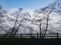Trees in this wintery scene contrast sharply against a fog bank and blue sky. The bare branches of several trees are framed by an outline of a wood fence against royalty free stock image