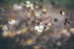 Bare branches of snowberry bush with white berries Stock Photography