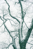 Bare branches snowfall Royalty Free Stock Images