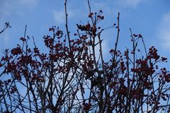 Bare branches of Sorbus aria. In December stock photo