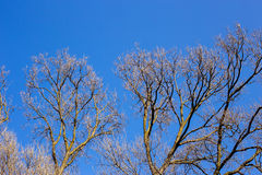 Bare branches of a tree against blue sky Royalty Free Stock Image