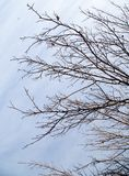 Bare branches of a tree against the morning sky.  Stock Photo