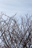Bare branches of a tree against the morning sky.  Royalty Free Stock Images