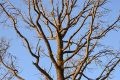 Bare branches of a tree. Branches without leaves against the blue sky Royalty Free Stock Photo
