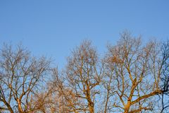Bare branches of a tree. Branches without leaves against the blue sky Stock Photo