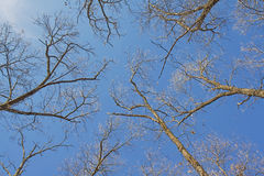 Bare branches of a tree canopy Stock Images